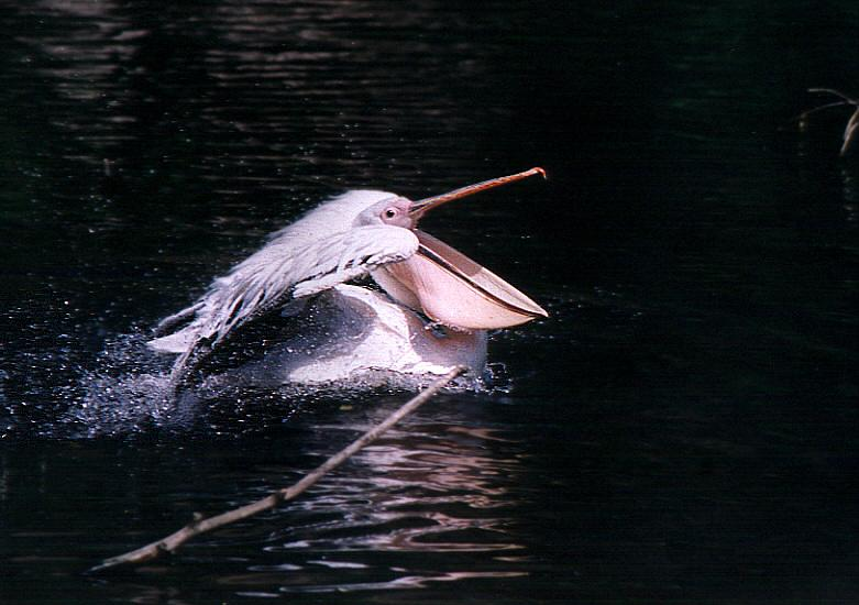 "photo ""Jet pelican"" tags: nature, wild animals"