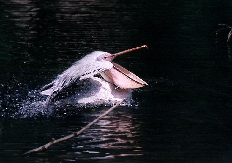 """фото """"Реактивный пеликан"""" метки: природа, дикие животные"""