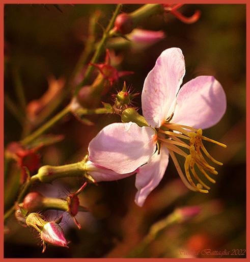 """фото """"Meadow Beauty"""" метки: макро и крупный план, природа, цветы"""