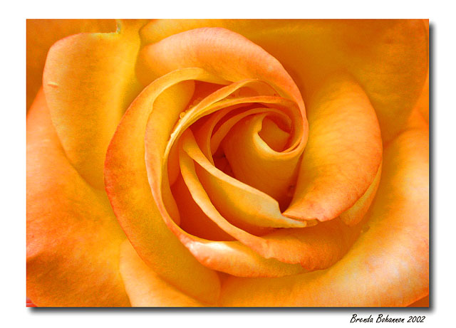 "photo ""Evening Rose"" tags: macro and close-up, nature, flowers"