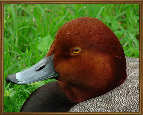 "photo ""Redhead Duck"" tags: nature, wild animals"