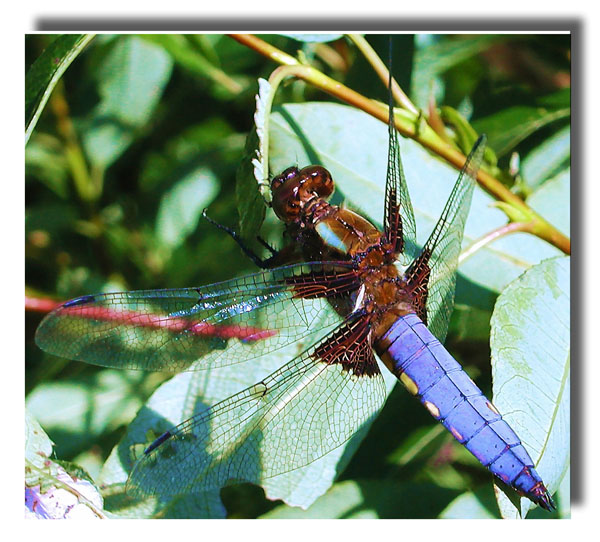 "фото ""Blue belly"" метки: природа, насекомое"