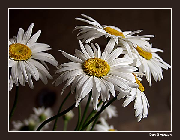 "photo ""Camomiles"" tags: still life, nature, flowers"