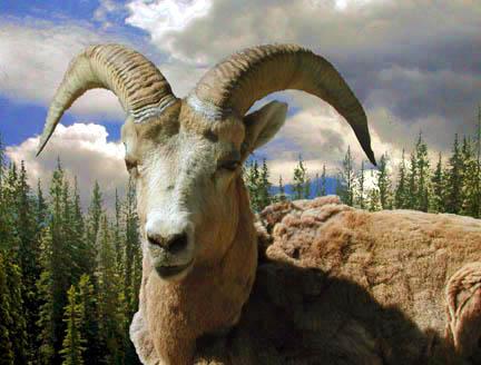 "photo ""Big Horn"" tags: nature, travel, North America, wild animals"