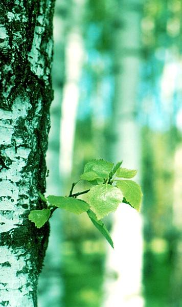 """фото """"В березовой роще"""" метки: природа, пейзаж, лето, цветы"""