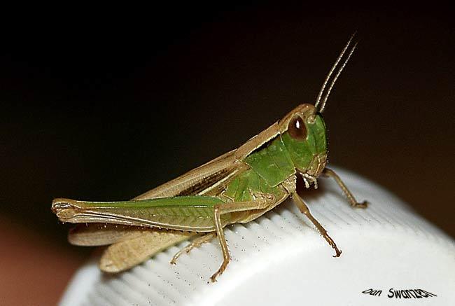 """фото """"Grasshopper"""" метки: макро и крупный план, природа, насекомое"""
