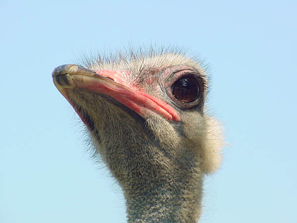 "photo ""Ostrich"" tags: nature, wild animals"