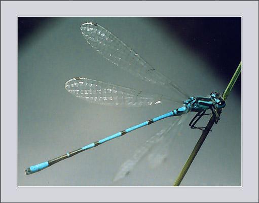 """фото """"Ниточка-иголочка #2"""" метки: макро и крупный план, природа, насекомое"""
