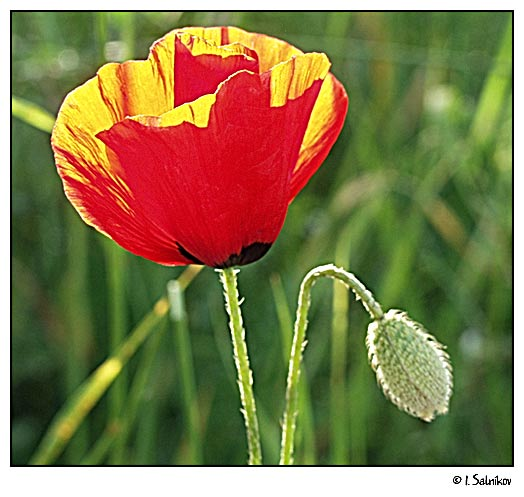 "photo ""poppy"" tags: nature, macro and close-up, flowers"