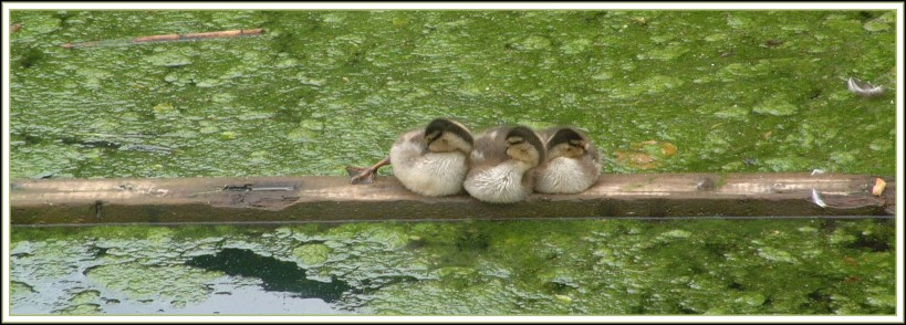 "photo ""Three Little Ducks"" tags: nature, landscape, water, wild animals"