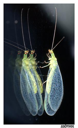 """фото """"Clonning..."""" метки: природа, макро и крупный план, насекомое"""