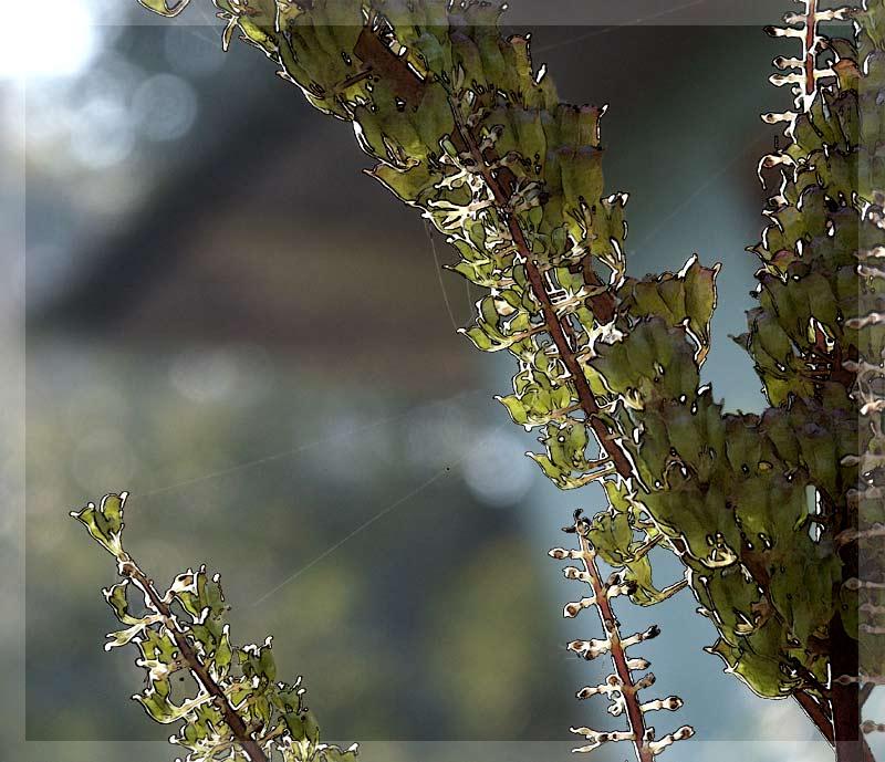 """photo """"Cimicifuga #6"""" tags: nature, flowers"""