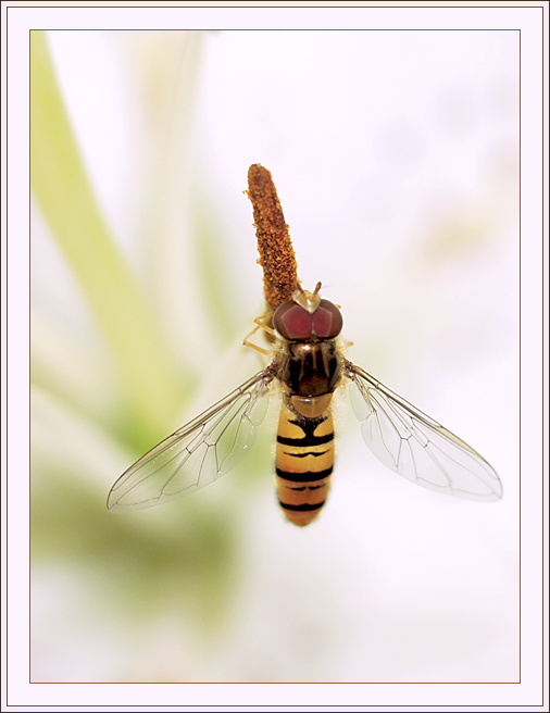 "photo ""The striped plane"" tags: macro and close-up, nature, insect"