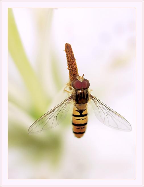 """фото """"Полосатый самолетик"""" метки: макро и крупный план, природа, насекомое"""