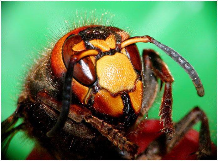 """фото """"Портрет шершня"""" метки: природа, макро и крупный план, насекомое"""