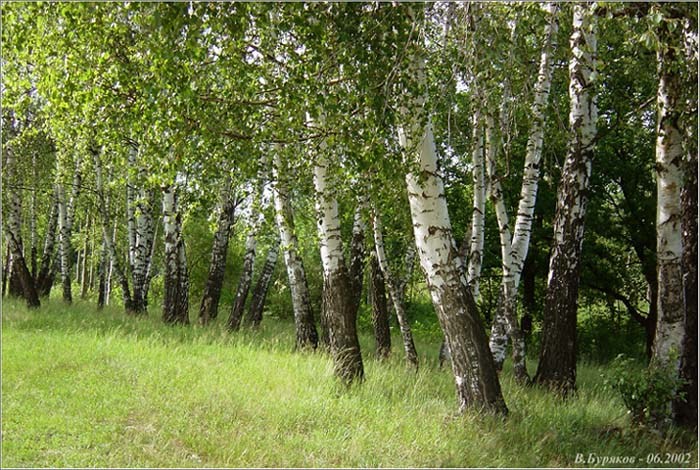 "photo ""Birches"" tags: landscape, forest, summer"