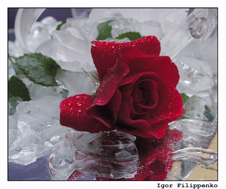 """фото """"ice_rose_1"""" метки: натюрморт, макро и крупный план,"""