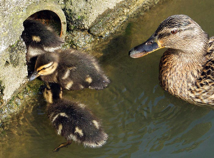 "photo ""'So That's where Baby Ducks come from!'"" tags: nature, humor, pets/farm animals"
