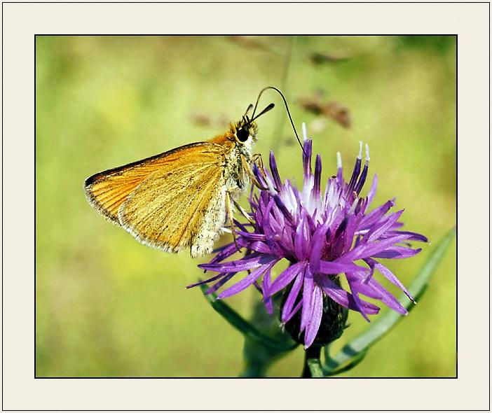 """фото """"Из жизни бабочек (На заправке)"""" метки: природа, насекомое"""