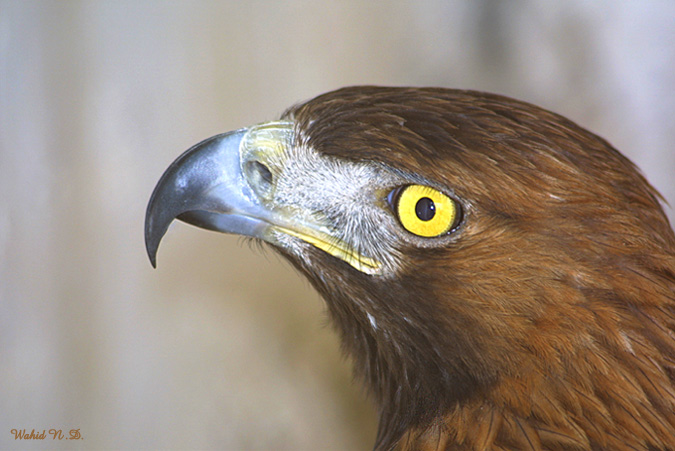 "photo ""Profile of a hawk"" tags: nature, wild animals"