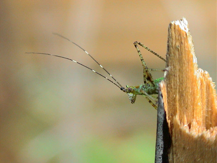 "photo ""The private Grasshopper in patrol"" tags: macro and close-up, nature, insect"