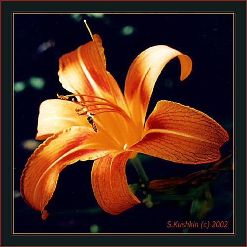 """фото """"& Bee"""" метки: природа, насекомое, цветы"""