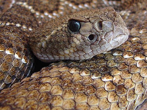 """фото """"Western Rattlesnake"""" метки: природа, дикие животные"""