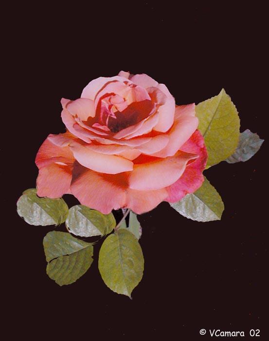 """фото """"My Rose II"""" метки: природа, макро и крупный план, цветы"""