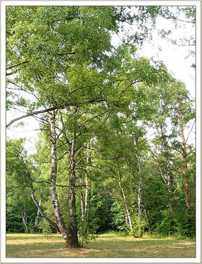 "фото ""Берёзки"" метки: пейзаж, лес"
