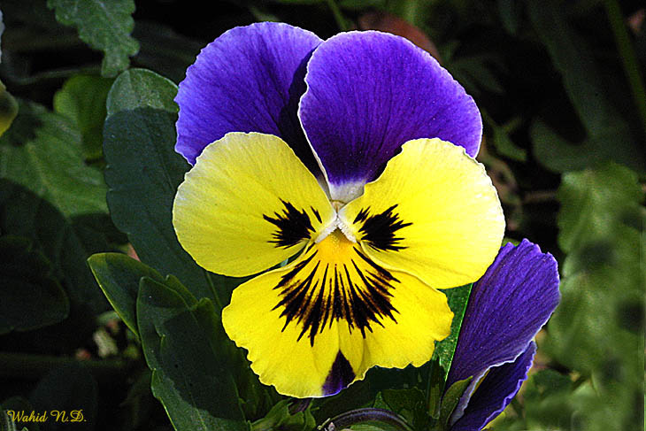 "photo ""Pansy#4"" tags: misc.,"