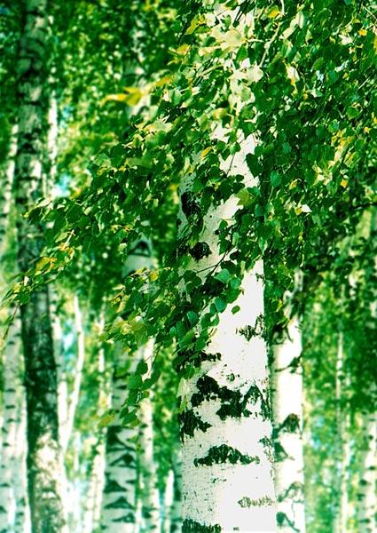 """фото """"Березовые локоны"""" метки: природа, цветы"""