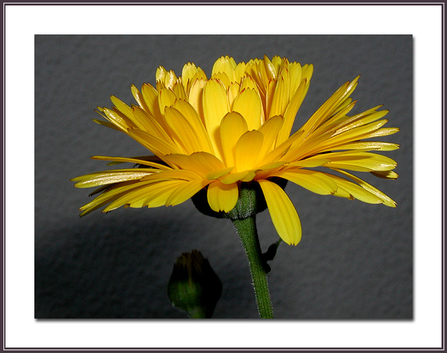 """фото """"A yellow flower."""" метки: макро и крупный план,"""