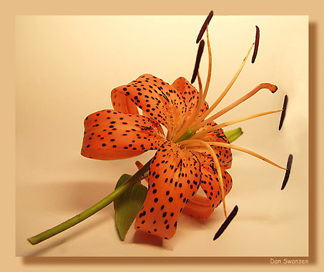 "photo ""Lily"" tags: still life, nature, flowers"