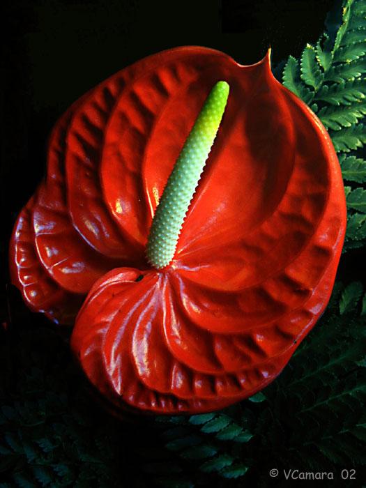 """photo """"Anturio"""" tags: nature, macro and close-up, flowers"""