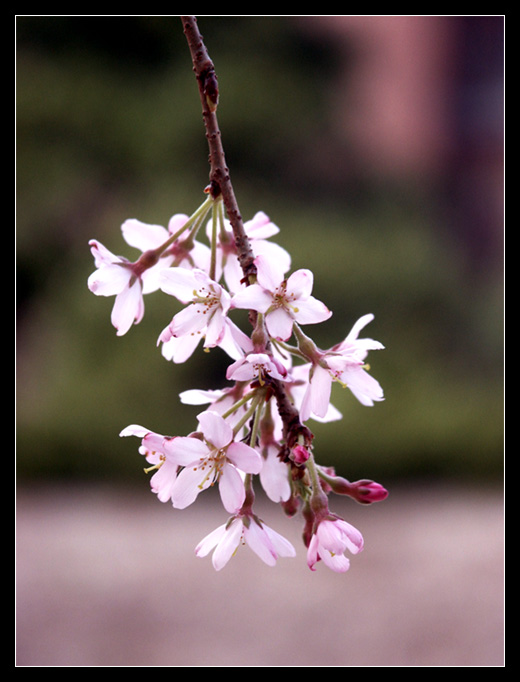 """фото """"Twig of sakura"""" метки: природа, макро и крупный план, цветы"""