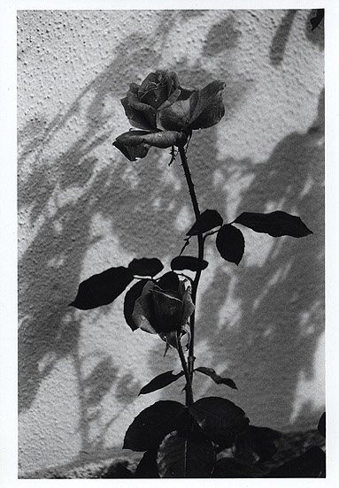 "photo ""Rose...  in black and white"" tags: nature, flowers"