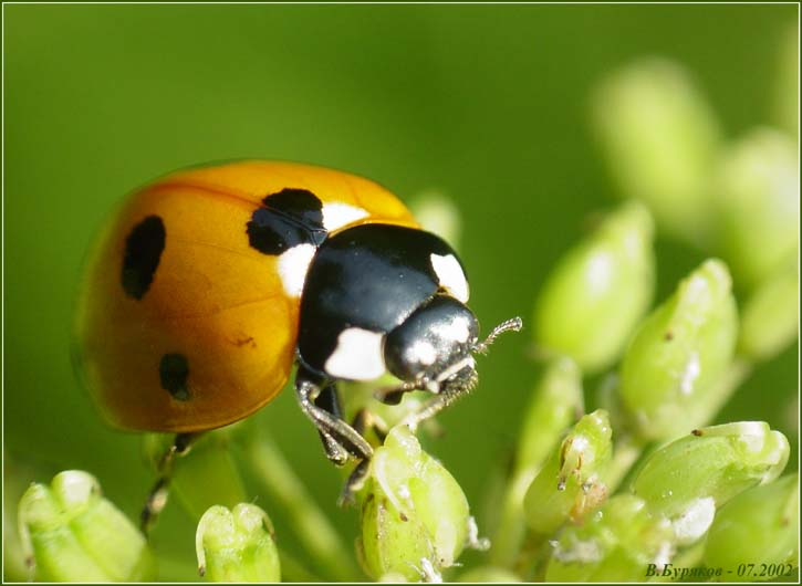 "photo ""The cow is grazed"" tags: nature, macro and close-up, insect"
