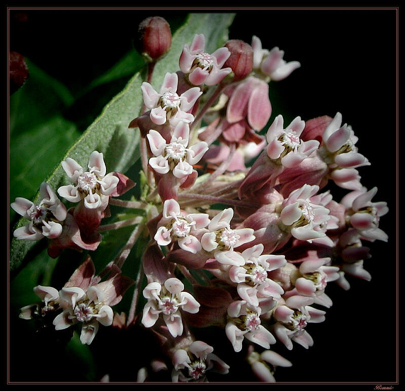 """фото """"Milkweed"""" метки: природа, макро и крупный план, цветы"""