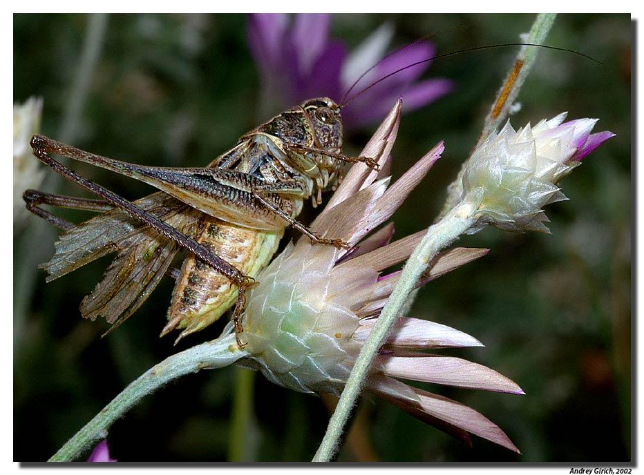 """фото """"Саранча"""" метки: природа, макро и крупный план, насекомое"""