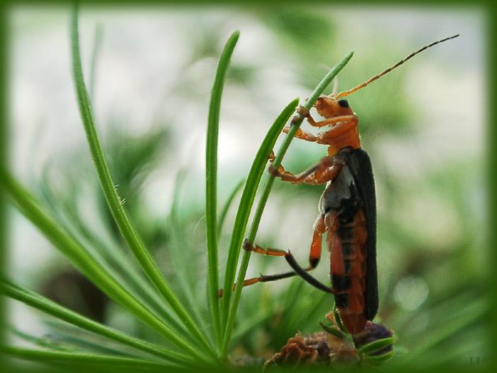 """фото """"И как долго мне стоять?Дорогая, ты опять с Виагрой"""" метки: макро и крупный план, природа, насекомое"""
