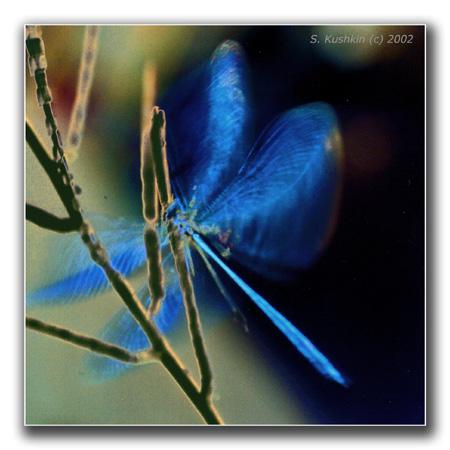 """фото """"bluebird"""" метки: природа, макро и крупный план,"""