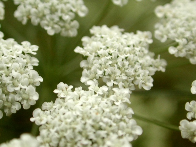 "photo ""Umbeliferae"" tags: macro and close-up, nature, flowers"