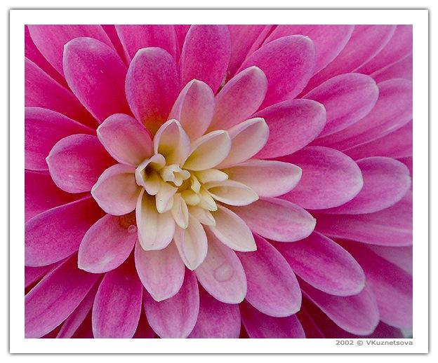 """фото """"Beauty"""" метки: макро и крупный план, природа, цветы"""