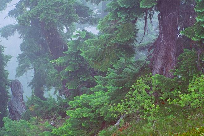 "фото ""Fir Trees In Fog"" метки: природа, цветы"