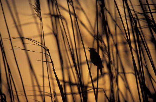 """фото """"Sedge warbler"""" метки: природа, дикие животные"""