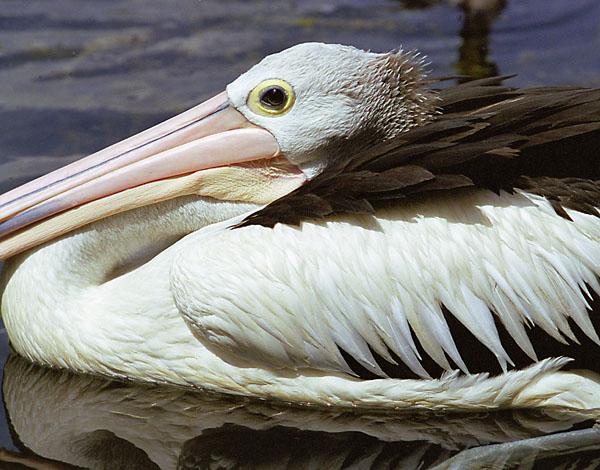 """фото """"Australian Pelican"""" метки: природа, путешествия, Австралия, дикие животные"""
