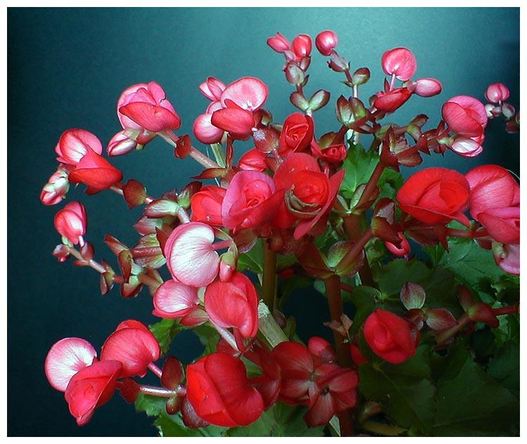 """фото """"Begonias"""" метки: природа, цветы"""
