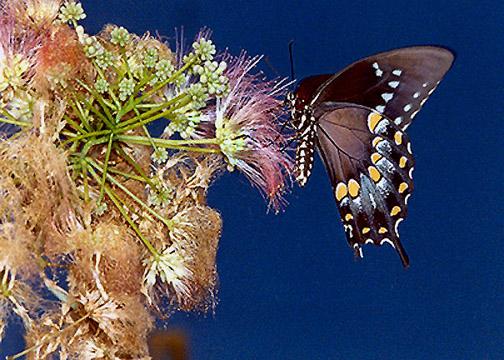 """фото """"Black Swallowtail?"""" метки: природа, насекомое"""
