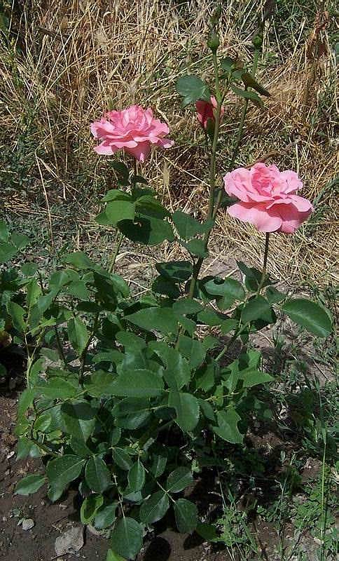 "фото ""Лето..."" метки: натюрморт, природа, цветы"