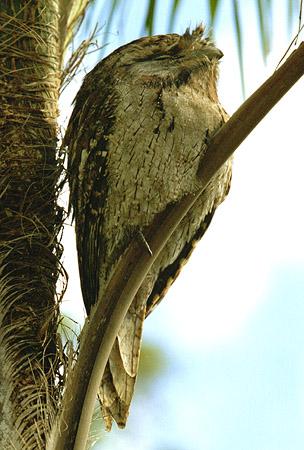 """фото """"frogmouth"""" метки: природа, путешествия, Австралия, дикие животные"""